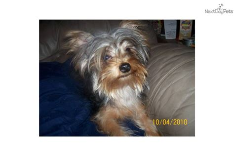 teacup yorkies springfield mo yorkie breeders in springfield mo breeds picture