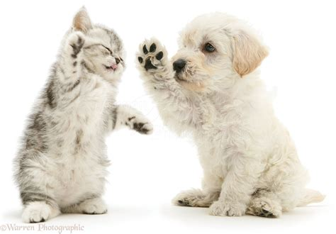 kittens puppies pets woodle puppy and kitten boxing photo wp16066 picture