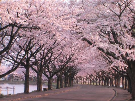 imagenes de sakura japon hanami speakzeasy