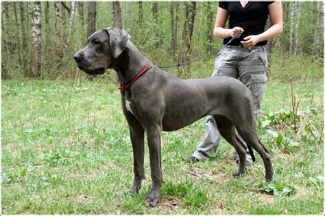 Great Dane Shed by Great Dane Breed 187 Information Pictures More