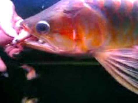 Keranjang Panen Ikan panen ikan