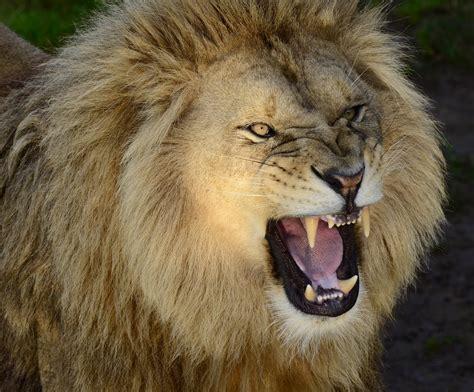 Of Lions roaring wallpaper wallpapersafari