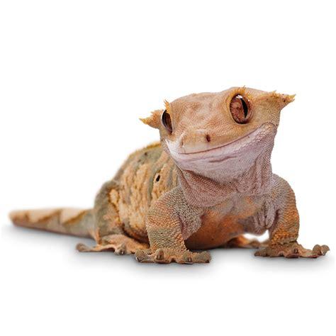 thinking    crested gecko arachnoboards