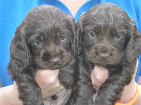 cocker spaniel puppies for sale in ca cocker spaniel puppies for sale carnforth lancashire pets4homes