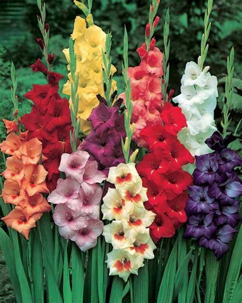 gladioli fiori gladioli