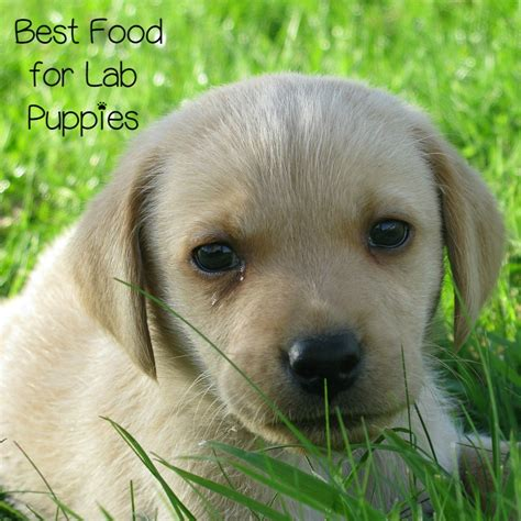 best puppy food for labs what is the best food for lab puppies