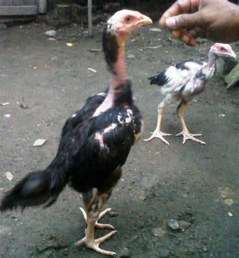 ternak ayam bangkok berkwalitas pacekan jual