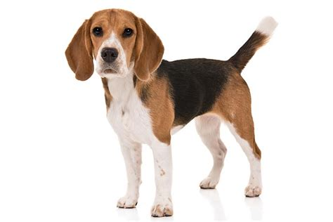 Boneka Anjing Hush Puppies Large beagle breed information