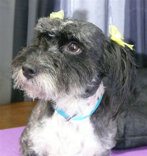 havanese puppies for adoption in california view ad havanese for adoption california redding