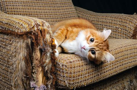 cat scratching couch declawing cats an inhumane practice cat tales