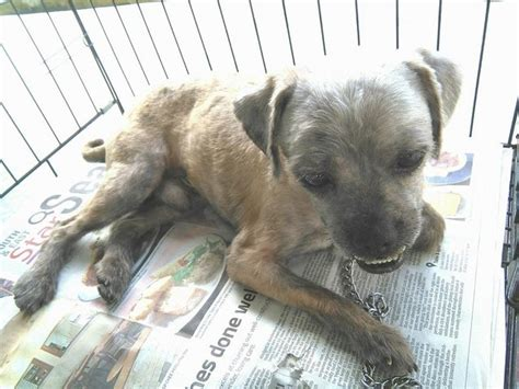 petfinders dogs for adoption shih tzu for adoption 2 years runner from johor bahru johor petfinder my