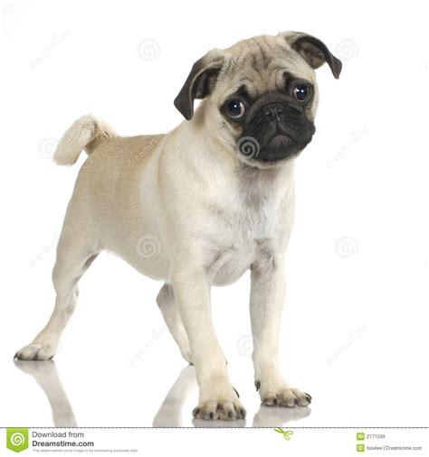 pug photos free pug royalty free stock images image 2771599