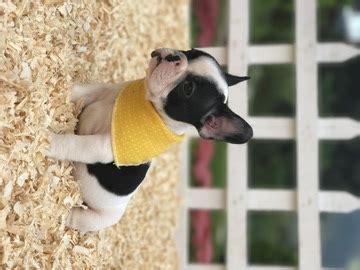 bulldog puppies for sale in ri view ad bulldog puppy for sale rhode island cranston usa