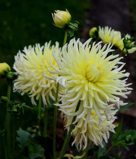 Dahlien Garten Pflanzen by Kaktus Dahlien Dahlien Garten Wissen