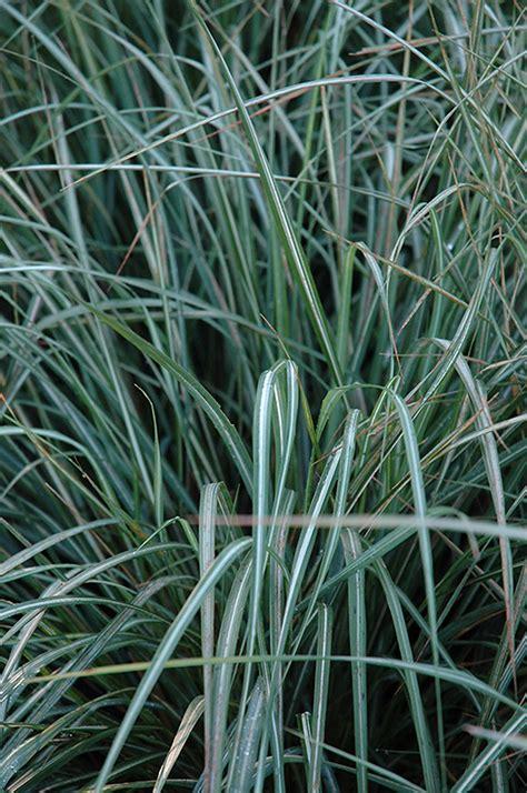 avalanche reed grass calamagrostis  acutiflora