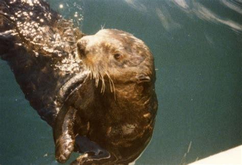 fishing boat sea otter sea otter buchanan salmon fishing