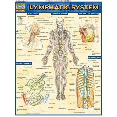 lymphatic drainage system diagram lymphatic system diagram www imgkid the image kid