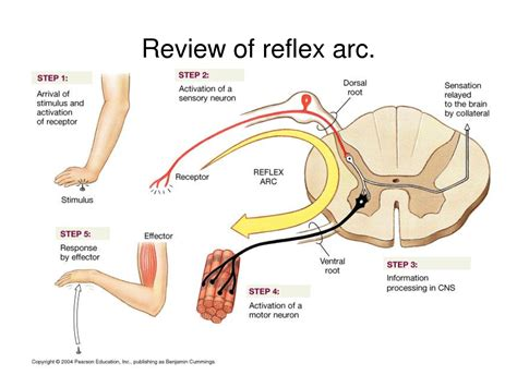 diagram of reflex november 2012 page 2 arcanum wholistic clinic