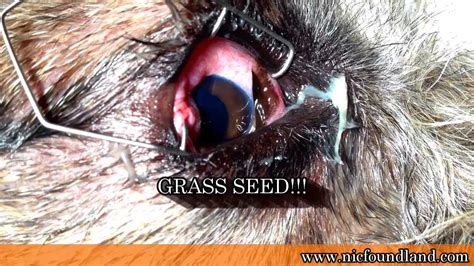 foxtail paw foxtail grass dogs images
