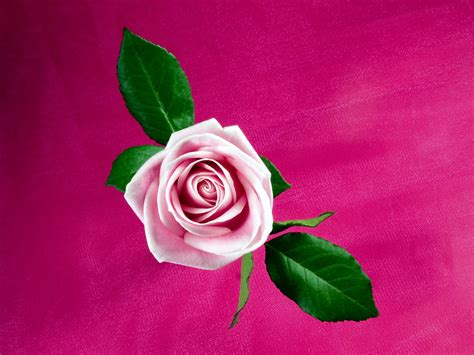 cool pink cool pink rose wallpapers hd wallpapers id 9442