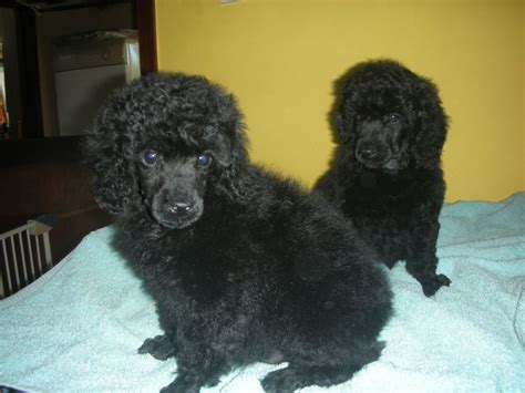 mini poodle puppies black miniature poodle puppy ashford kent pets4homes