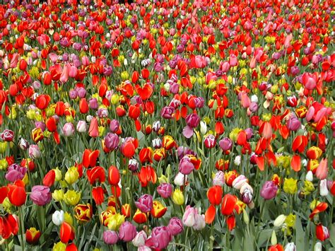 sfondi fiori gratis sfondi gratis desktop fiori sfondi fiori