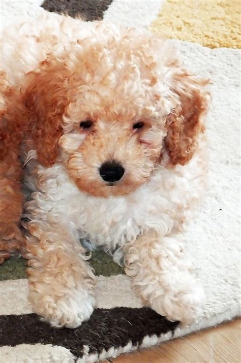 poodle puppies for sale beautiful apricot poodle puppy for sale morpeth northumberland pets4homes