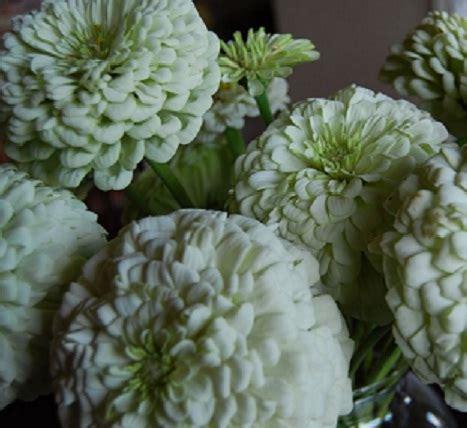 Bunga Zinnia Polar benih zinnia polar 5 biji non retail bibitbunga