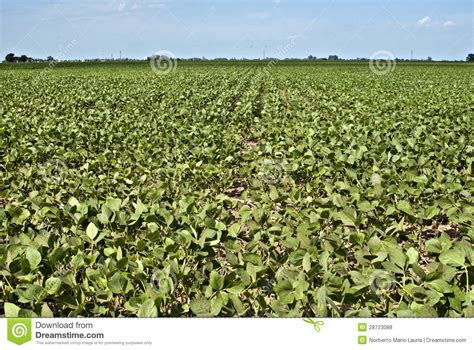 Soybean Crop Royalty Free Stock Photos   Image: 28723088