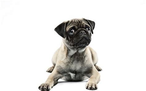 pug themed pug windows 10 theme themepack me