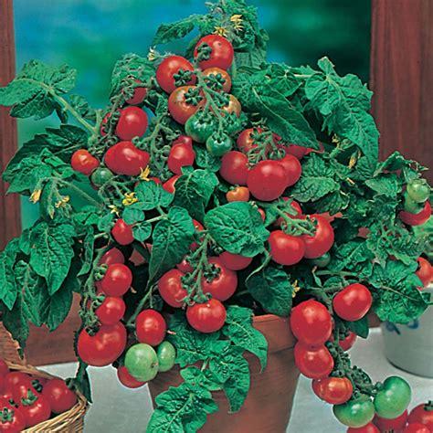 Biji Tomat Indigo jual bibit sayuran terbaik jual bibit bunga murah