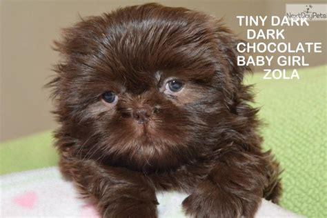 liver shih tzu shih tzu puppy for sale near arizona 3b6b0e4e f0f1