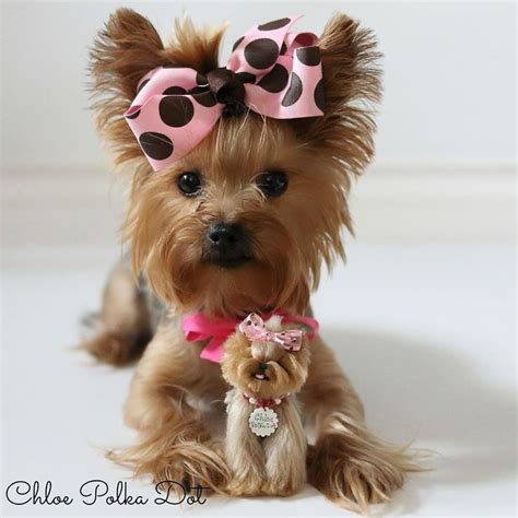where to get a yorkie 1319 best yorkie images on