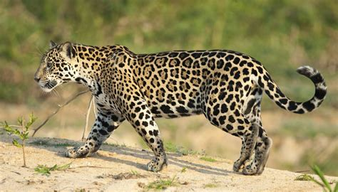 what state are the jaguars from why are jaguars endangered animals sciencing