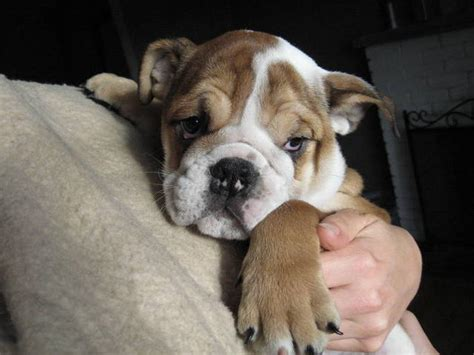 puppies for sale in new orleans all our puppies will up to date and breeds picture