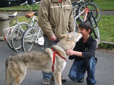 istituto comprensivo certosa di pavia sulle orme lupo e andato ascuola