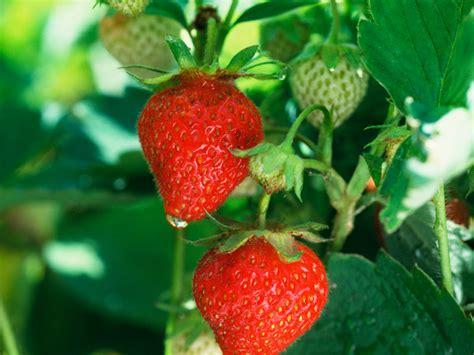 piantare le fragole in vaso piantare e coltivare le fragole giardinaggio