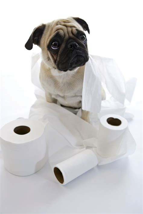 pug exercise 17 best images about pug health and fitness on is here sacks and