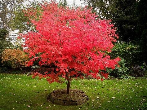 17 best ideas about japanese maple trees on pinterest