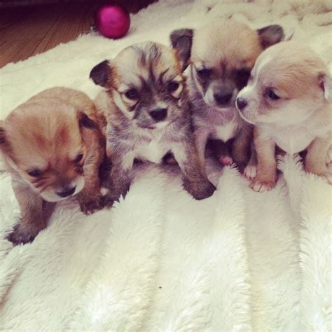 chihuahua puppies price chihuahua puppies for sale price drop coventry west midlands pets4homes