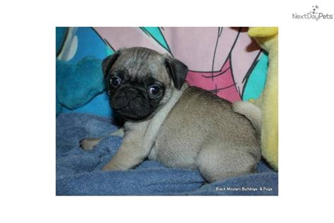 grey pug puppies for sale pug for sale for 650 near fresno madera california 9f757571 ef61