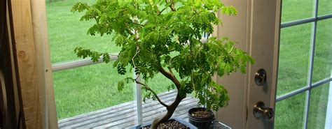 bonsai da interni i bonsai da interno e la guida per prendersene cura ibonsai