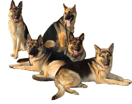 back german shepherd puppies for sale protection sales personal and executive protection dogs for sale family