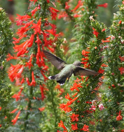hummingbird plant plantanswers plant answers gt hummingbirds