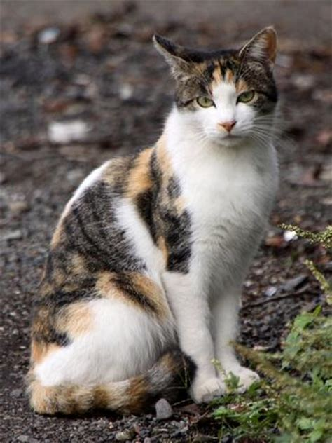 naming your calico cat name ideas for calico cats page 1 the best list ever of good calico cat names i love