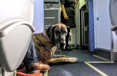 kicking quot support animals quot the plane travelskills