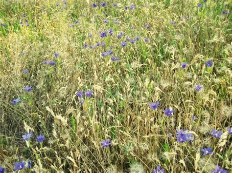 notes from the meadow user friendly deer resistant plant light reflected by elegant brodiaea sierra foothill garden