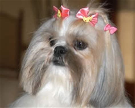 shih tzu boy puppy names shih tzu names names for shih tzu puppies images frompo