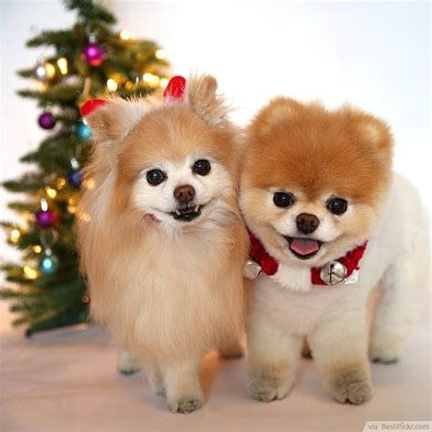 the cutest dog in the world 37 best pomeranian breed