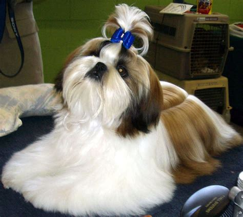 male shih tzu hair styles i want dukes hair to look this nice too bad he